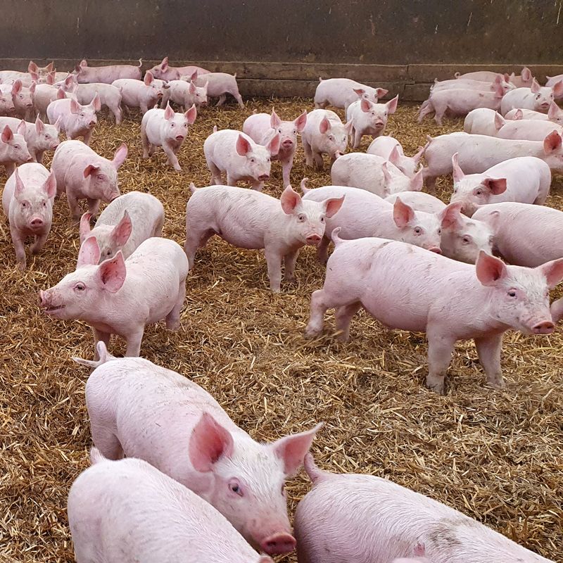 Piggery protected by Zoono Microbe Shield Z-71